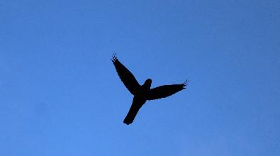Silhouette of hawk flying